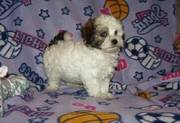 Beautifull Havanese puppy for a good home