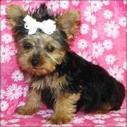 Quality Yorkshire terrier puppy for sale