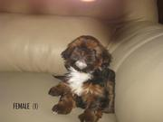 LAST 4 SHIH TZU PUPPIES FOR SALE