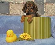 wonderful Cocker Spaniel Puppies For Sale