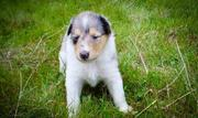 Brilliant Collie Puppies For Sale