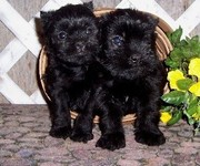 Affenpinscher Puppies for Sale