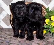 Affenpinscher Puppies for Sale