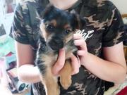 Yorksire terrier puppies Ready now