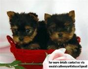 Free Yorkie Teacup Puppies Free For Summer