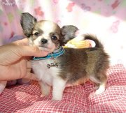 cute chihuahua puppy for adoption