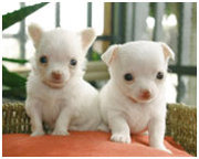 cute and loving chichuachua puppies for free adoption