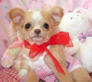 Adorable chihuahua puppies seeking new home.