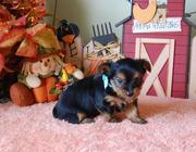 Two Cute Yorkie puppies for Xmas Adoption..(tracymoorgan@yahoo.com)